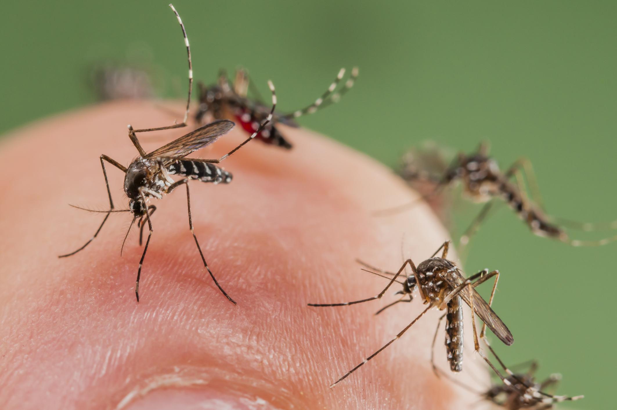 Información básica sobre los mosquitos